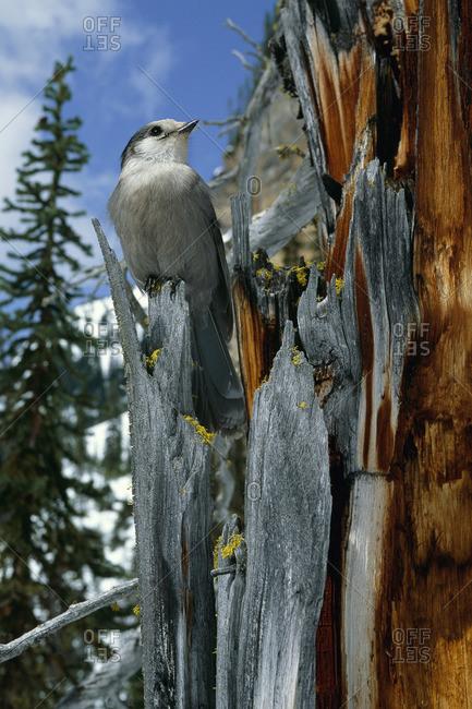 Grey Jay, British Columbia, Canada