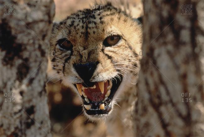 Portrait of Cheetah Snarling - Offset