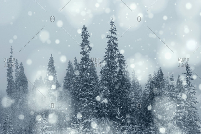 Snow Falling in Evergreen Forest, Wells Gray Provincial Park, British Columbia, Canada