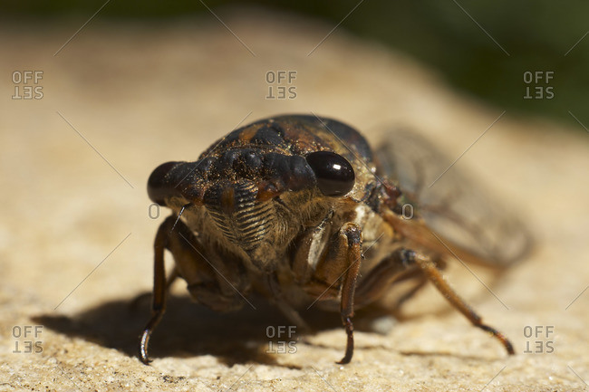 Close Up of Cicada
