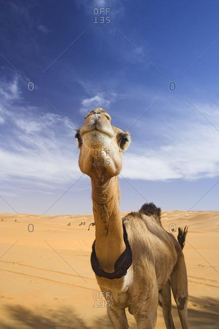 Camel in the Desert, Erg Ubari, Libya