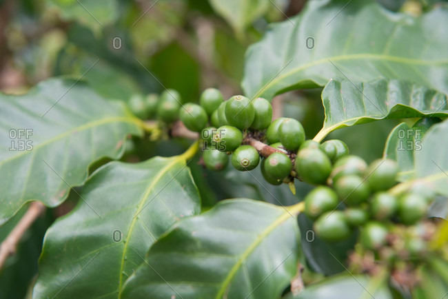 Coffee beans growing on Kauai, Hawaii