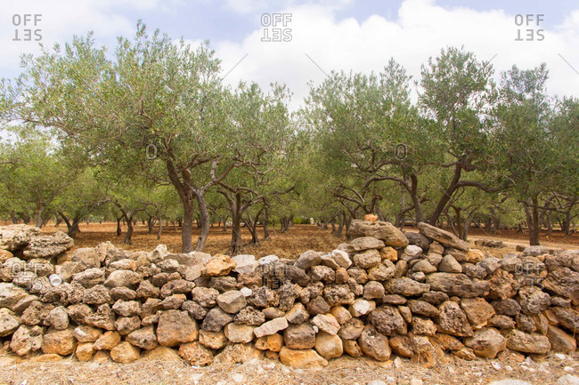 Rock wall around an olive orchard