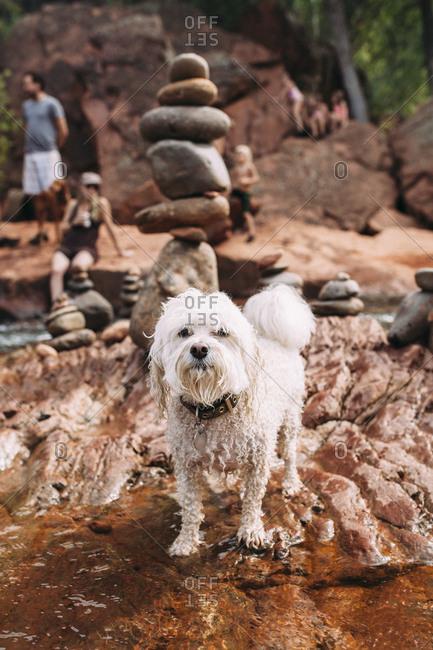 Wet shaggy dog at a stream
