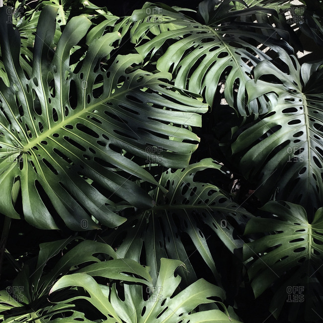Large Green Leaves Of A Tropical Plant Stock Photo Offset