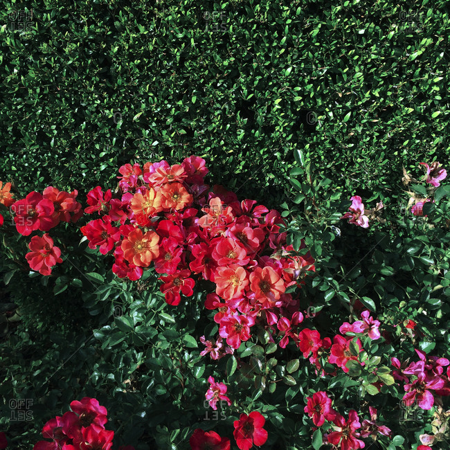 Shrubs with red and pink flowers