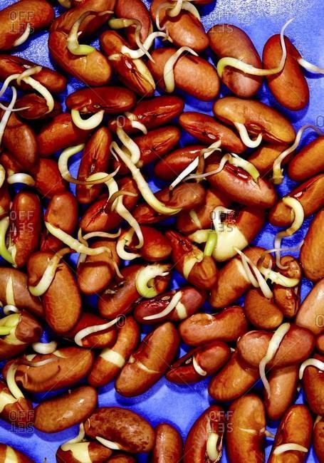Close up of sprouted beans