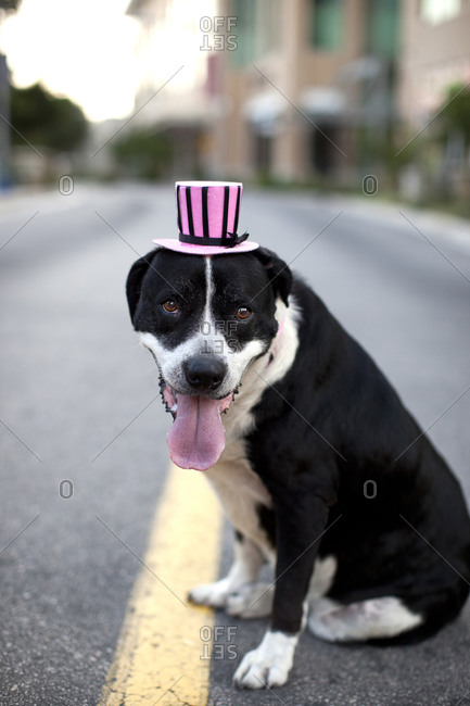Dog wearing a pink top hat