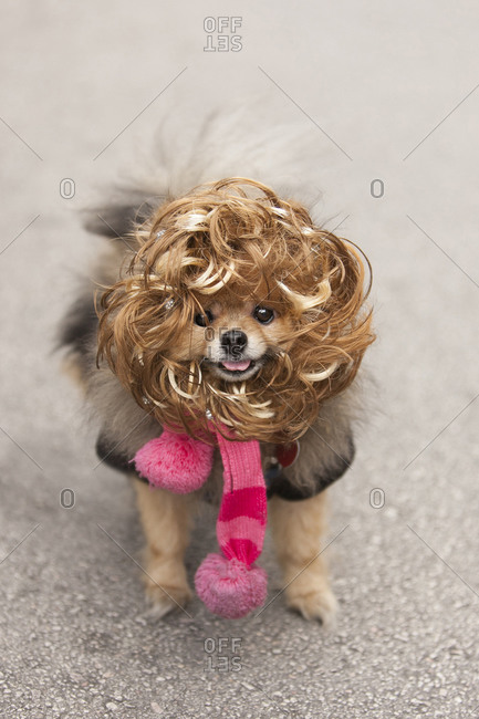 Pomeranian in a wig and costume