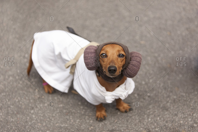 Dachshund wearing a costume
