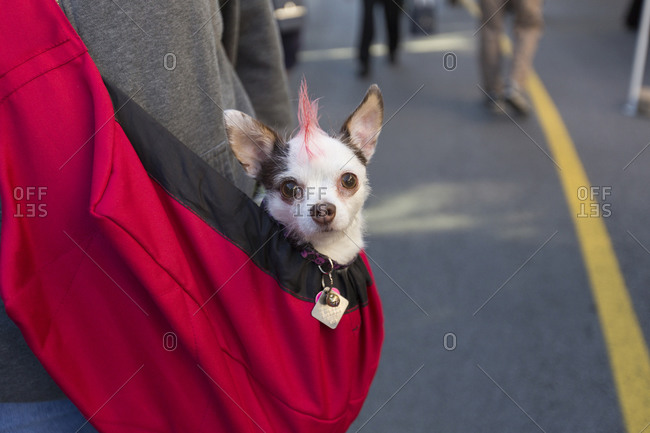 Chihuahua with a mohawk in a pet carrier