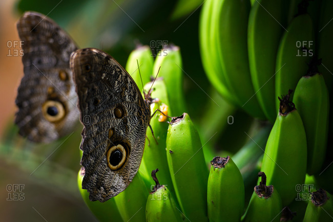 Butterflies on green, unripe bananas