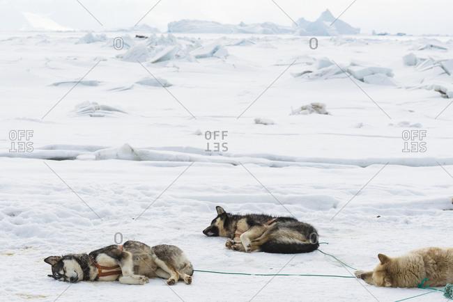 Draught dogs sleeping