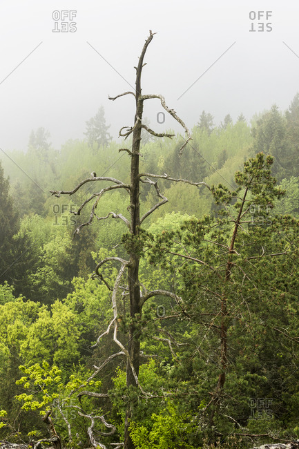 Dead tree in forest, Ostergotland