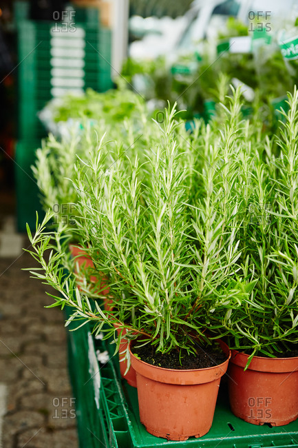 Potted rosemary at a farmer's market