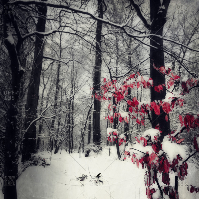 Snow-covered forest with last leaves