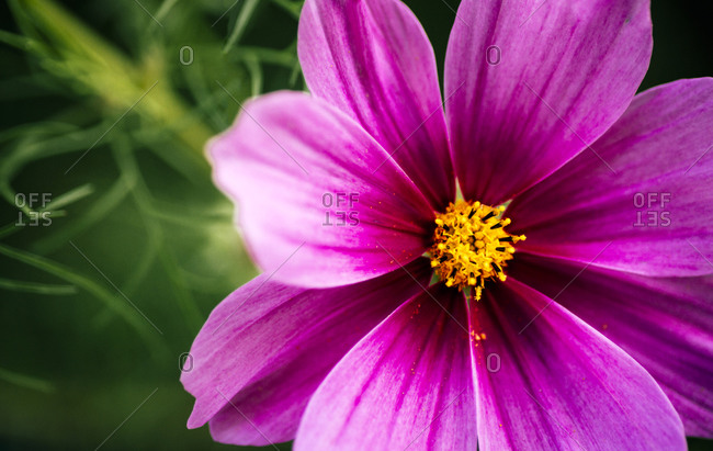 Detail of a garden flower, Cosmos bipinnatus