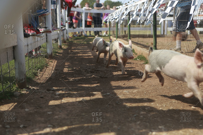 Piglets running in a race at country fair