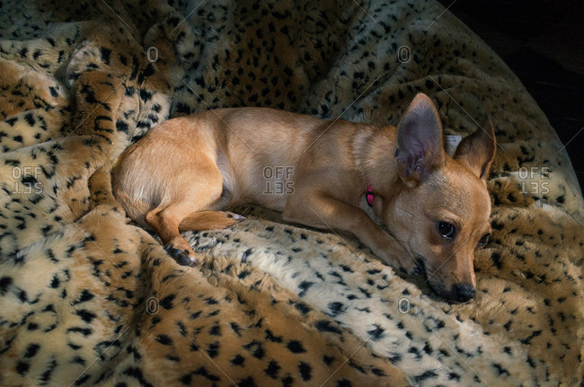 Dog relaxing on soft leopard print pet bed