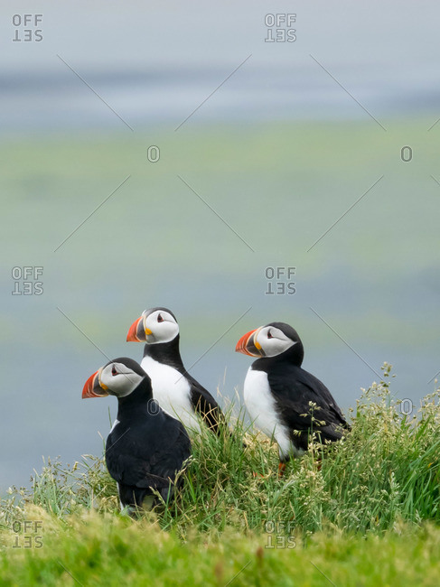 Three puffin birds in the grass on the cliffs of Dyrholaey