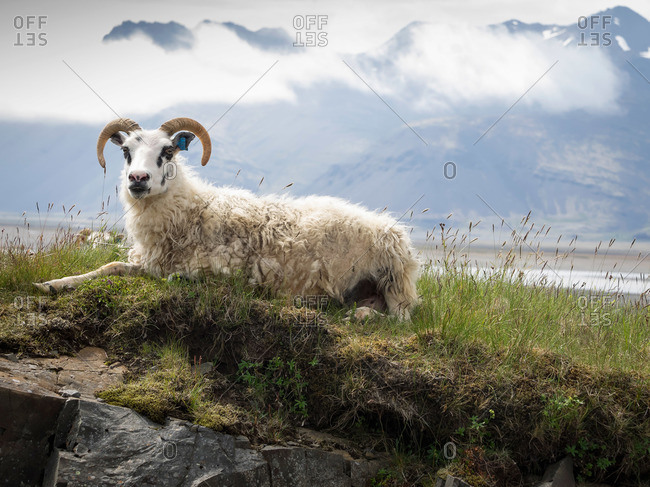 A goat with large horns resting on a rocky outcrop