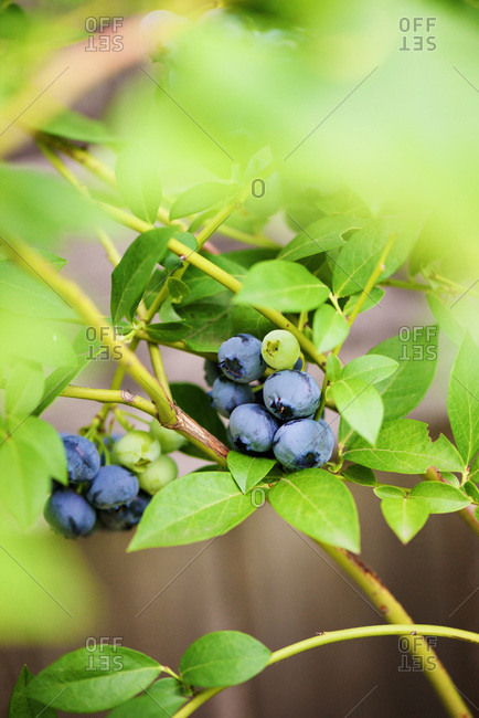 Blueberries on a blueberry bush branch