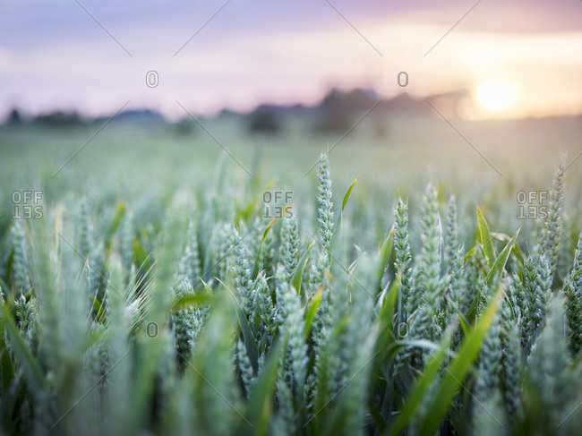Wheat field at dusk