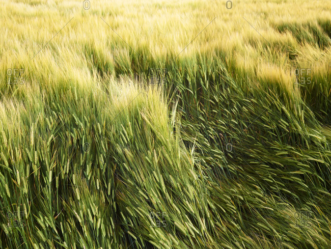 Wheat field from the Offset Collection