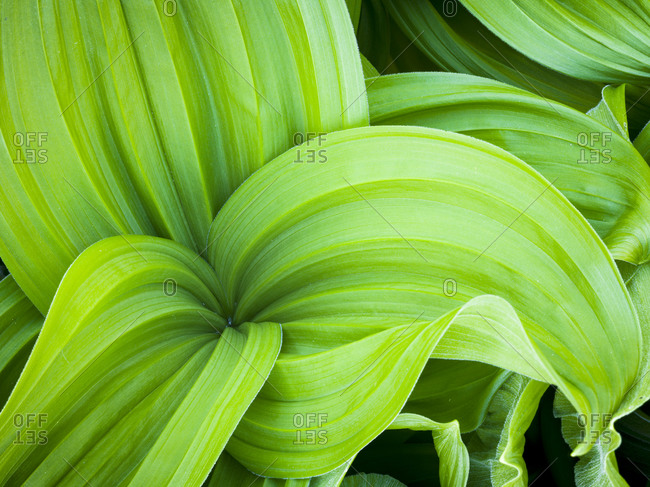 Green leaves, close up