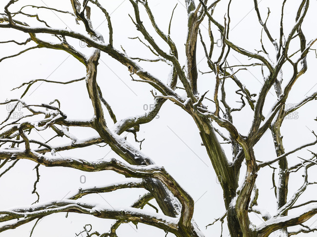 Snow on bare tree