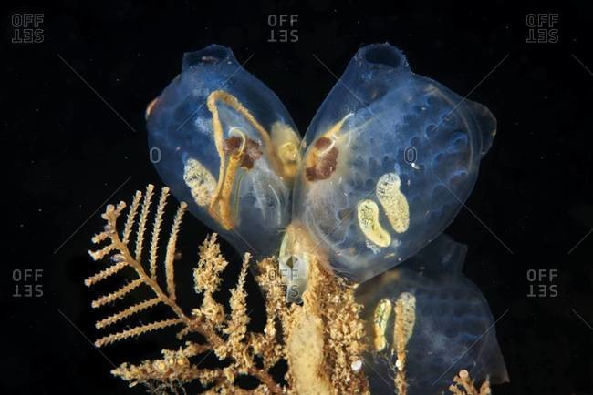 A sea squirt on underwater plant