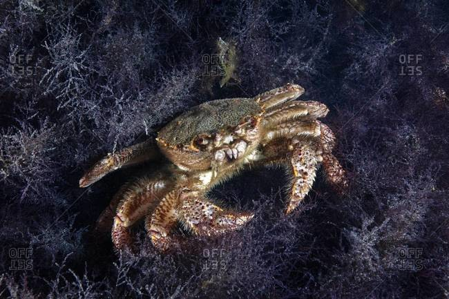 Horsehair crab on the ocean floor