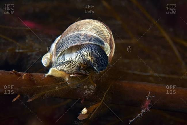 Periwinkle sea snail in the ocean
