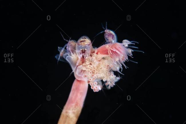 Tubular hydrozoan polyp in the ocean