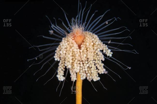 Hydrozoan polyp in sea