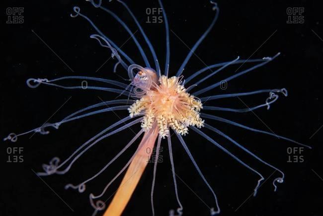 Hydrozoan polyp in ocean