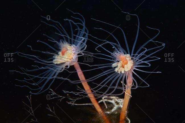 Two hydrozoan polyps in ocean