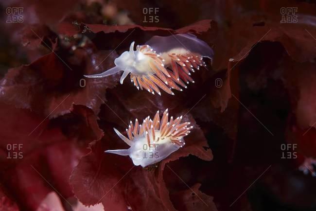 Sea slugs on red plant in ocean