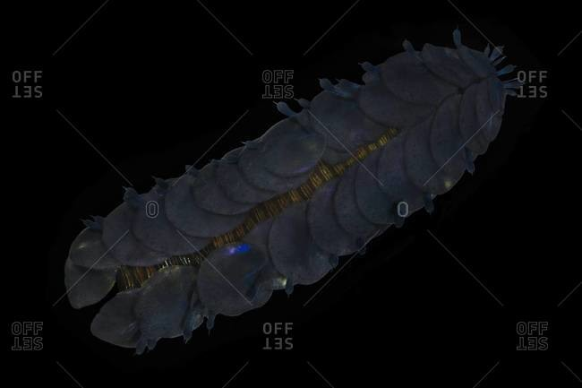 Polynoid worm in the sea