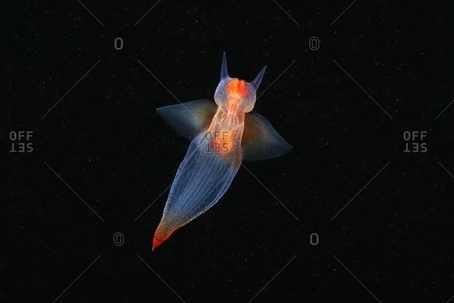Sea angel swimming in ocean