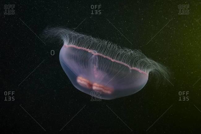 Moon jellyfish near surface
