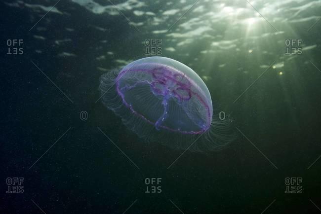 Moon jellyfish swimming in sunlight