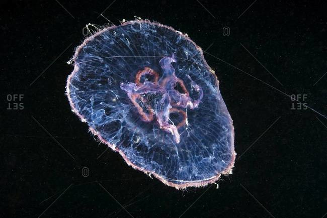 Moon jellyfish illuminated in ocean