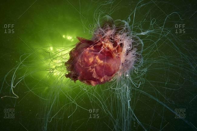 Lion's mane jellyfish lit by green light