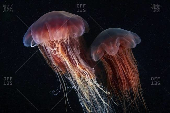 Two lion's mane jellyfish swimming in ocean