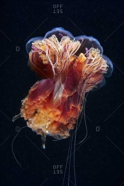 Underside of lion's mane jellyfish
