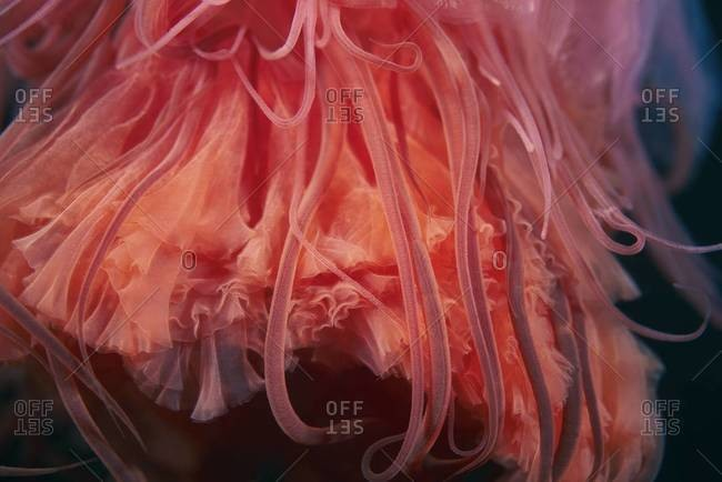 Close up of a lion's mane jellyfish