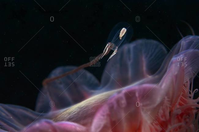 Offspring of a lion's mane jellyfish