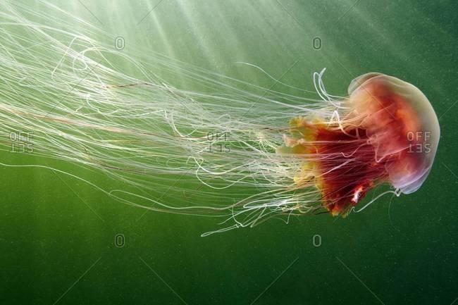 Lion's mane jellyfish swimming in green water