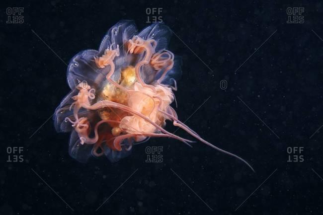 Lion's mane jellyfish swimming in ocean